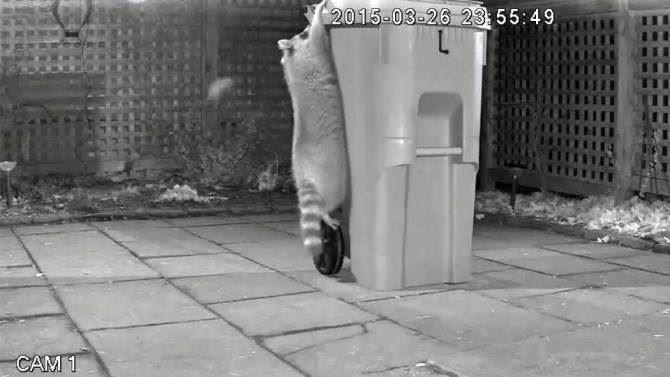 raccoon-in-garbage
